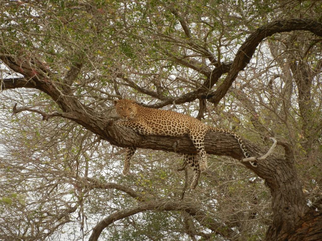 sa leopard