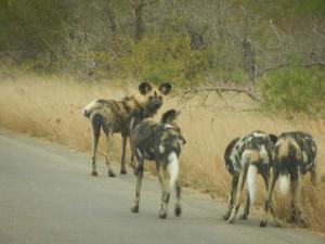 sa wild dogs