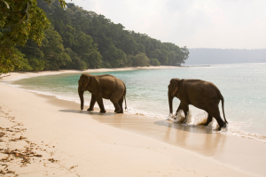 India Andaman and Nicobar Havelock Island Radha Nagar Number 7 beach elephants walking