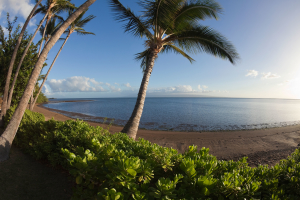 Palm on Molokai with view of Lanai Island,Hawaii